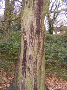 An oak tree stands in woodland. The trunk of this oak tree has many black stains running down the bark.