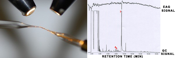 Left image shows a zoomed-in photo with two tiny spotlights. These are shining onto a thin filament. This filament is held between two electrodes which appear coated in glass or plastic. On the right is a graph. This represents a feed read-out from the EAG machine which is detecting fluctuations from the filament in the left image. The graph shows an EAG signal at the top of the y axis. The x axis measures retention time from 0 to 20 minutes. The EAG signal is at top of the y axis and has many fluctuations in current, shown as small, sharp, waves in the line. The GC signal has large square peaks at 2 to 4 minutes and then drops to the bottom of the y axis. At around 5.5, 8 and 9 minutes, there a sharp spikes in the GC signal. There is a large fluctuation in EAG and GC at 9 minutes that corresponds with the number 7 being written onto the graph in red. There are two peaks at 6 minutes in the GC signal that have the numbers 4 and 5 written on them in red.
