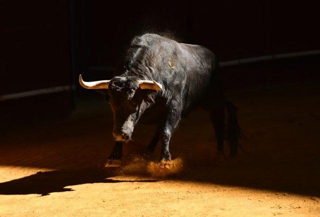 Ein Stier scharrt mit den Hufen, bereit loszustürmen.