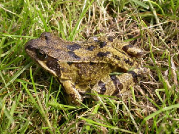 common garden frog Common Frog | BTO - British Trust for Ornithology