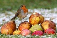 Robin with apples by Jill Pakenham/BTO