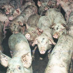 Another Something Foul in the Air above Hog Farms