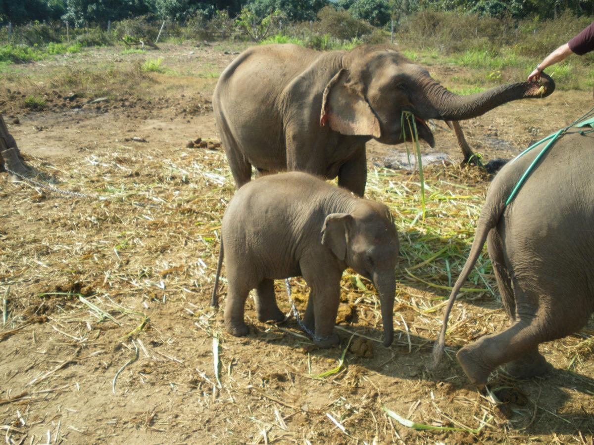 タイ王国エレファント村の小象