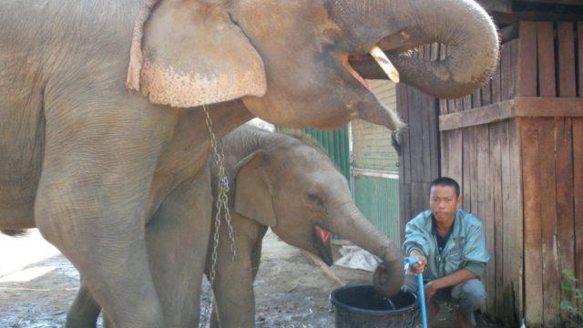 タイ王国エレファント村の親子象
