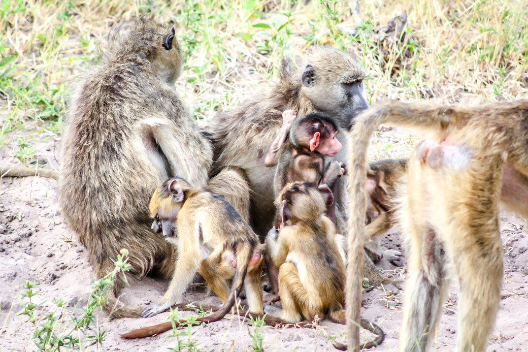 Baboons | Safari | Botswana | Chobe National Park | Sanctuary Chobe Chilwero Camp | Bubbly Moments