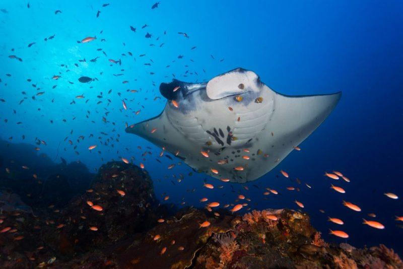 buceo con mantas, Manta de arrecife