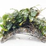 Bucephalandra en mini puente