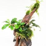 Bucephalandra en tronco doble