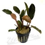 Bucephalandra Serimbu Brown y Bucephalandra Pandora