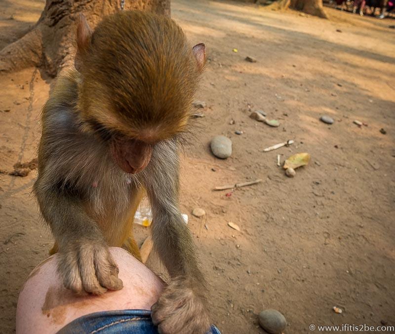 Laos Monkey (Golden Triangle)