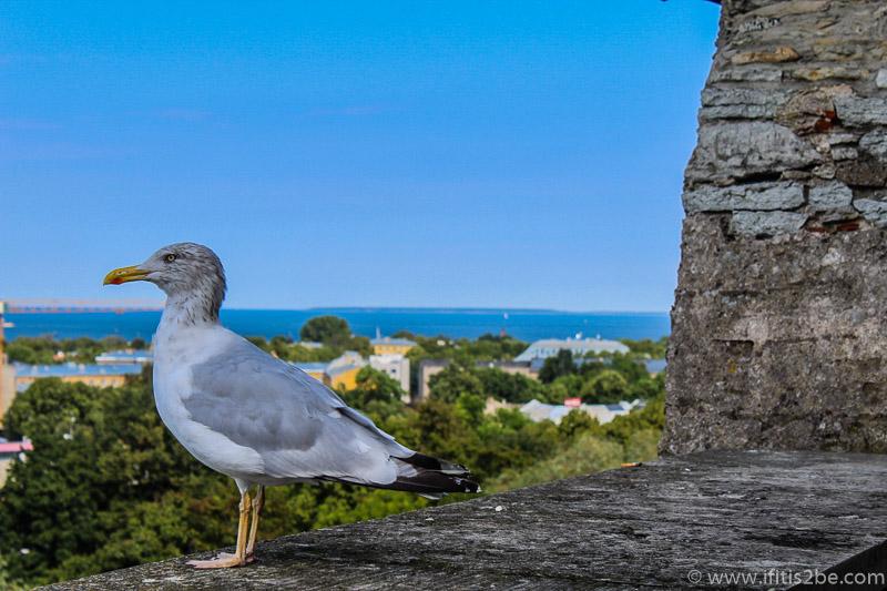 Seagull at Old Town, Tallinn