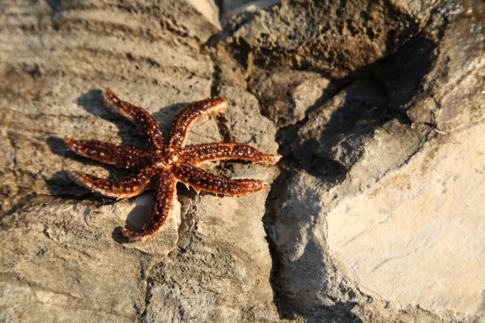 seven-legged seastar