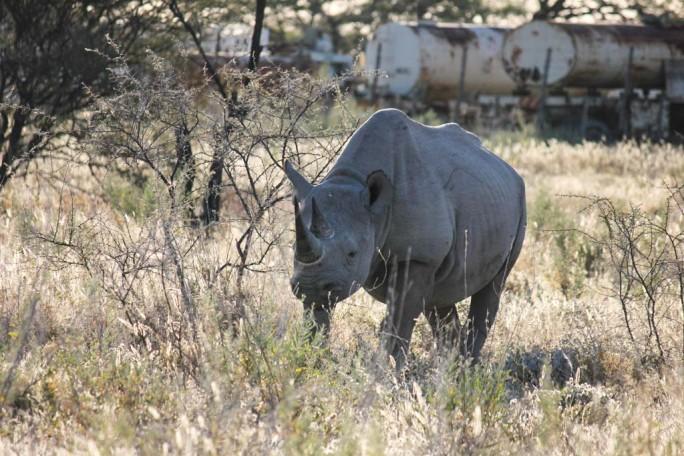 Rhino, Etosha National Park