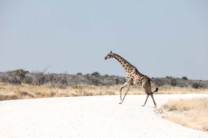 Giraffe running across the street, Namibia