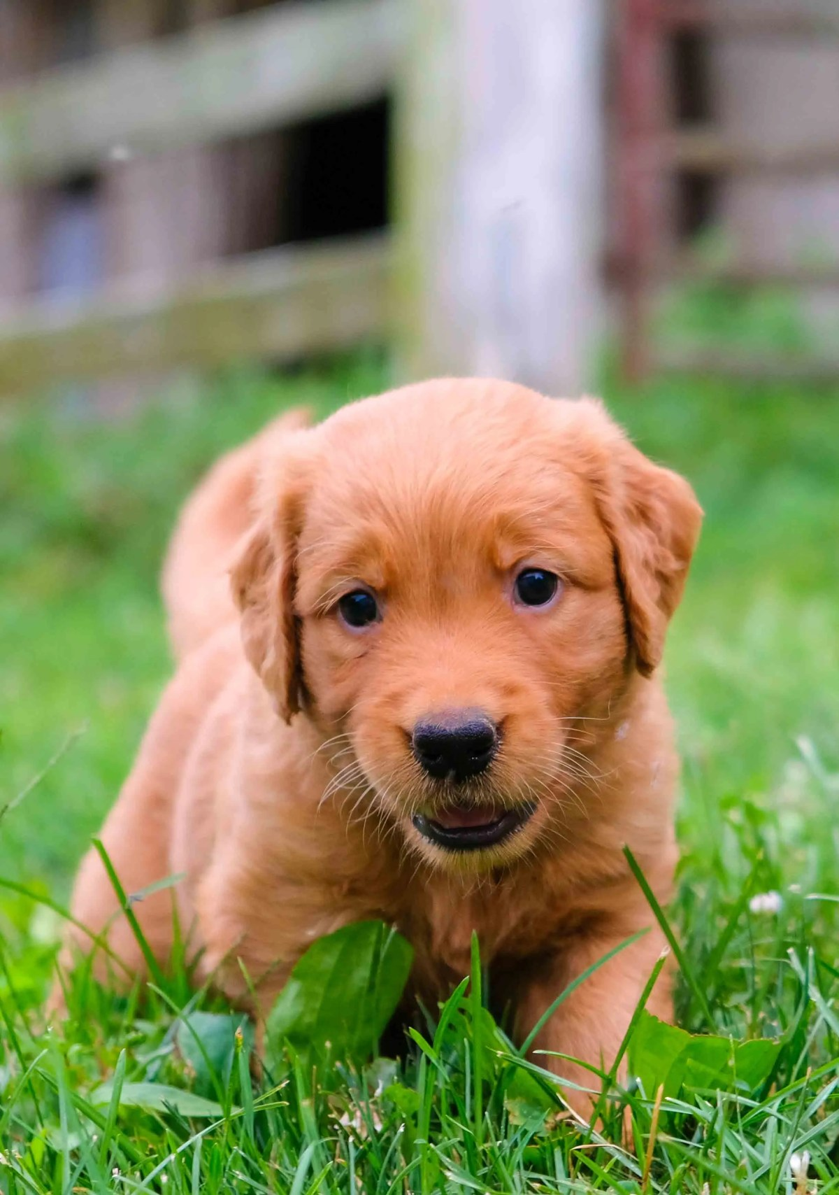 Golden Retriever Puppies For Sale In Ohio Buckeye Golden Retrievers