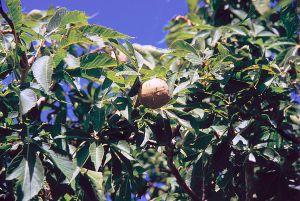 Buckeye tree.