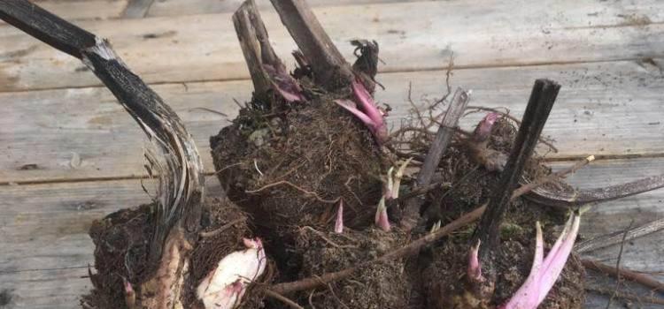 Silphie-Knollen und Samen zu verkaufen