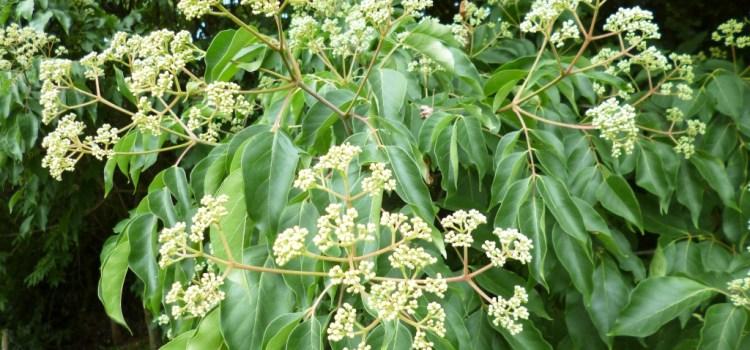 Bienenbäume (Euodia Hupehensis)
