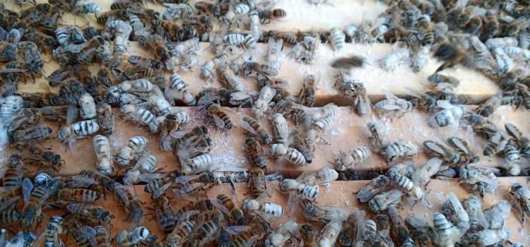 Zuckersüße  Bienen
