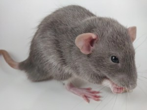 One of our pet rats Romanov.