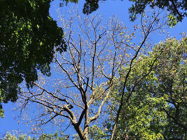 Oak Wilt Tree Photo