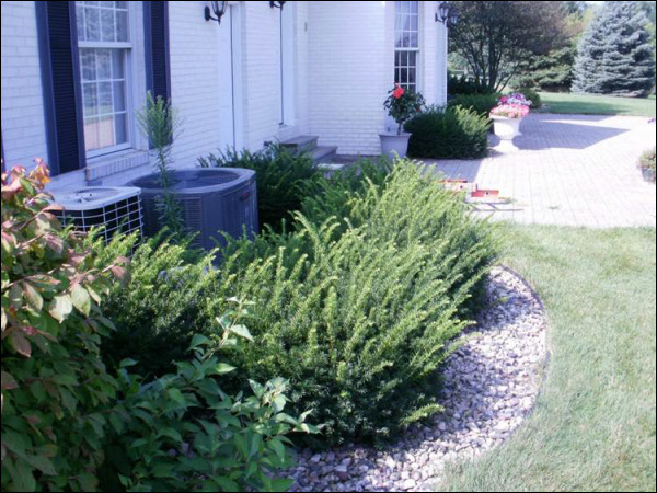 Pruning Yew Bushes Buckley Tree Service