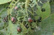 Japanese Beetle Tree Damage Close Up