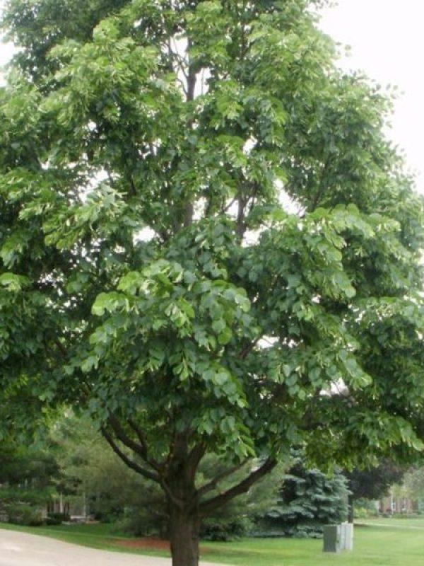 Milwaukee Tree Service Prune Raise After