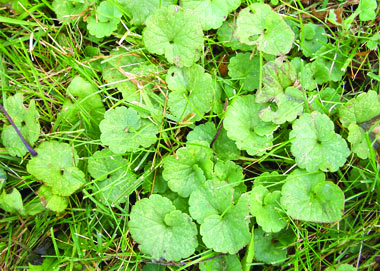 how to get rid of ground ivy in your lawn