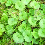 Ground-Ivy-in-Lawn this one