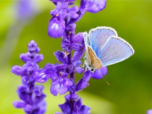 1280px-Butterfly_on_the_Lavender_(5982214456)