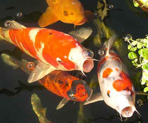 Bucks country gardens for Can you eat koi fish