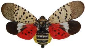 Spotted Lantern Fly Dorsal