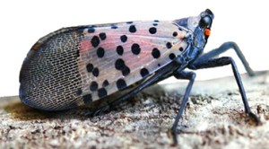 Spotted Lantern Fly Lateral