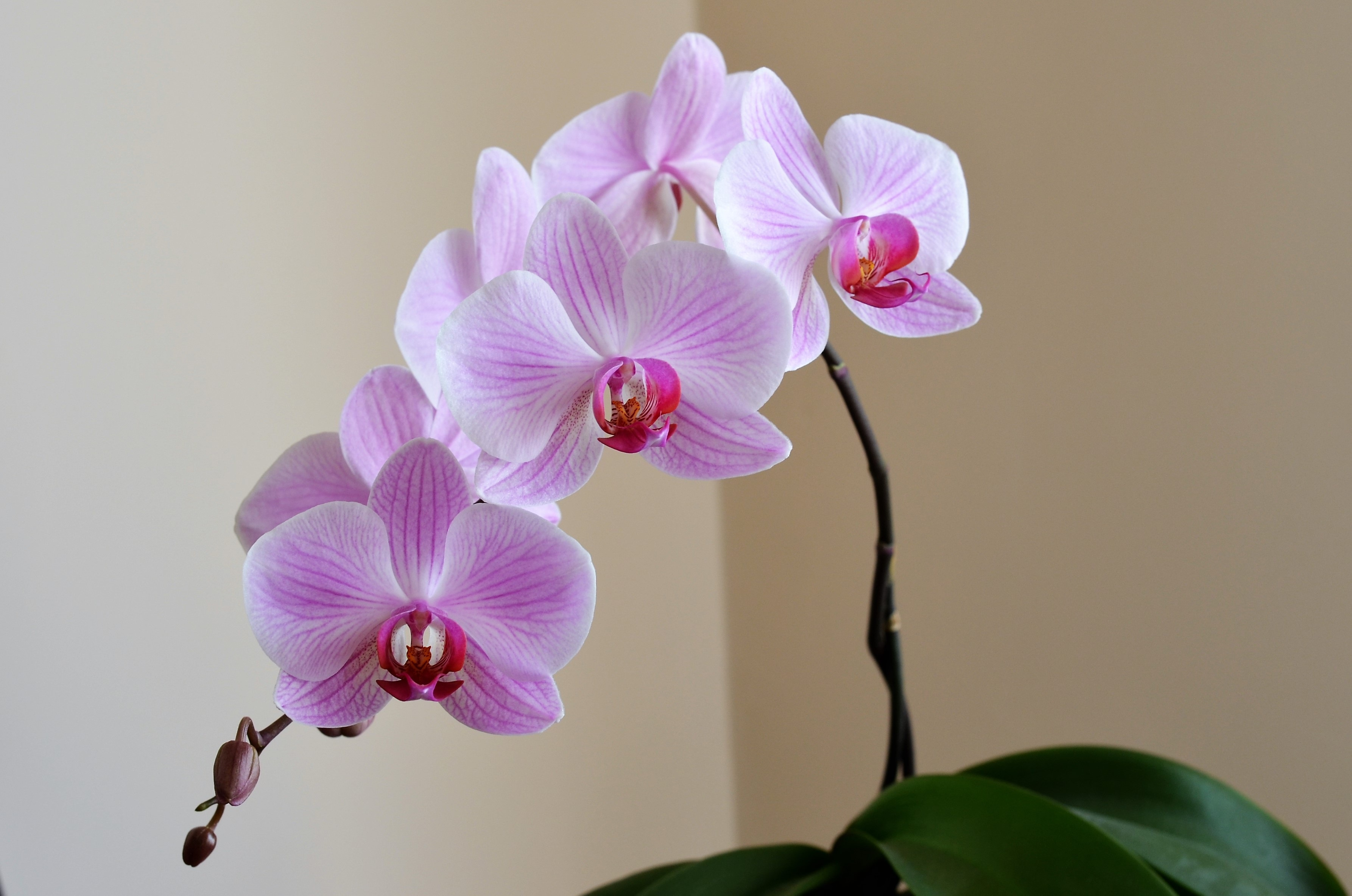 Bucks country gardens for Orchidea phalaenopsis cura