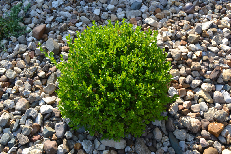 Winter-Gem-Boxwood