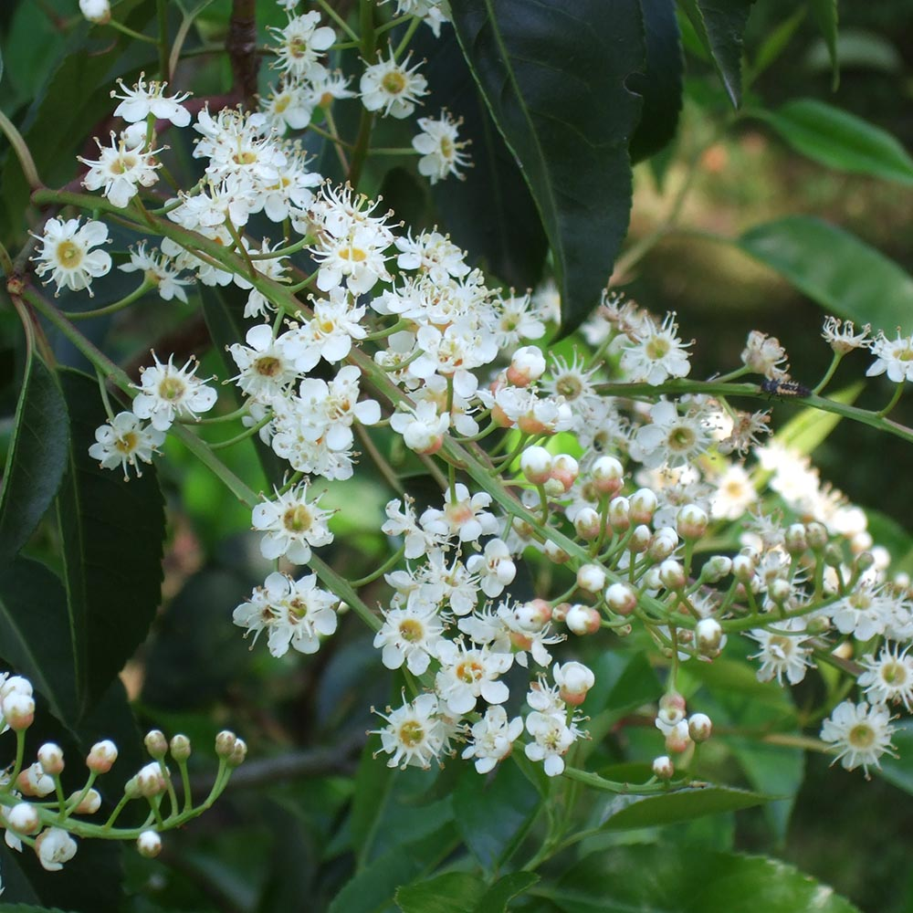 cherry-laurel