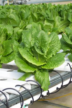 Romaine lettuce; photo by Lynne Goldman