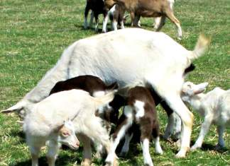 Flint Hill Farm goats