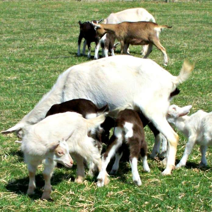 Flint Hill Farm goats