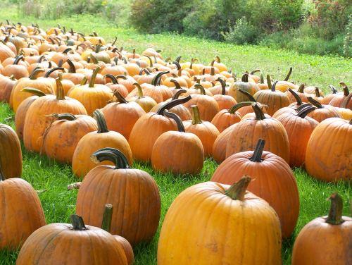 Pumpkins at Trauger's Farm Market; photo by L. Goldman