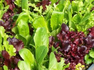 MHF lettuce