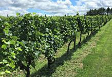 Wycombe Vineyards vines; photo credit Lynne Goldman