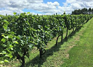 Wycombe Vineyards vines; photo credit Lynne Goldman