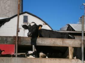 Fulper Farm cow