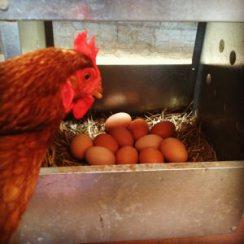 Lima_eggs