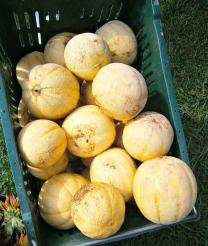 Melons from Blooming Glen Farm. photo by L. Goldman