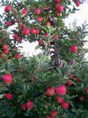 Apple Trees at Manoff's; photo by L. Goldman