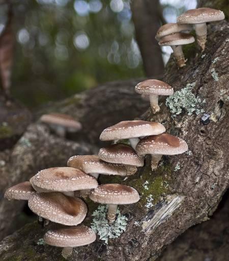 Shiitake Mushrooms sprouting from log; CMushroom Gourmet 2009