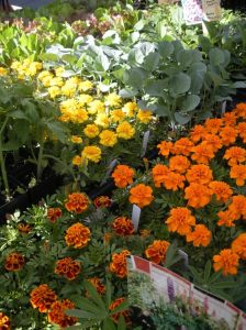 Marigolds at Doylestown FArmers Mkt